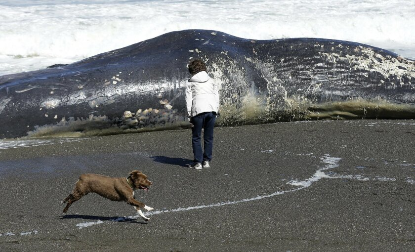 FILE - In this Wednesday, April 15, 2015 file photo, a woman looks at the body of a whale on the beach in Pacifica, Calif. The carcass of the 50-foot sperm whale washed ashore at the Pacifica beach just south of San Francisco. On Tuesday, May 26, 2015, another dead whale washed ashore in Northern California, the twelfth carcass to beach in the past few months, a number that is higher than in recent years but not a record. (AP Photo/Jeff Chiu)