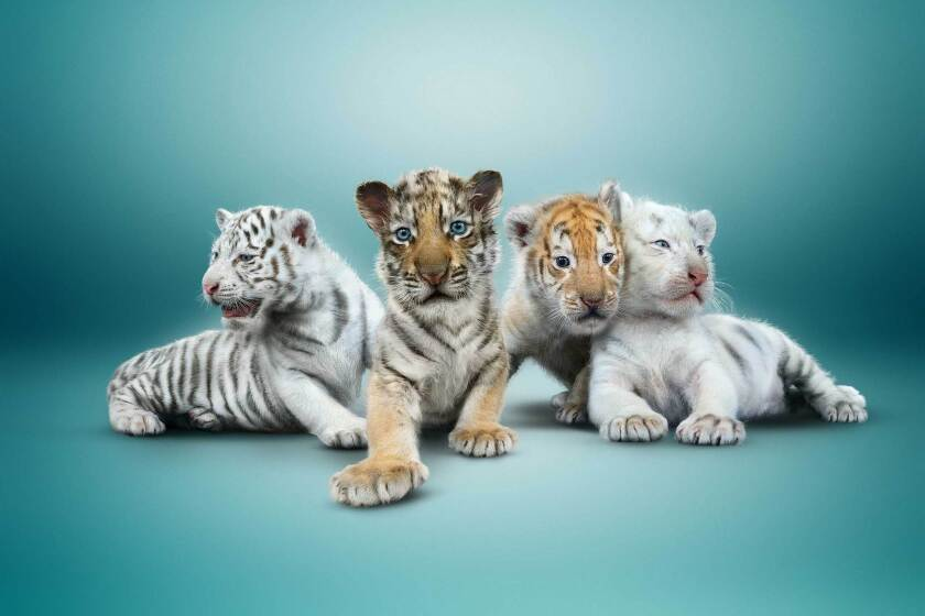 From left, Maharani, Hirah, Justice and Liberty will be on display starting Saturday at the Mirage Hotel & Casino.