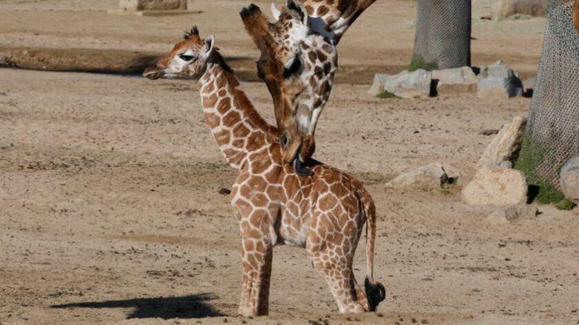 Giraffophiles Rejoice San Diego Zoo Now Offers Giraffe Cam The
