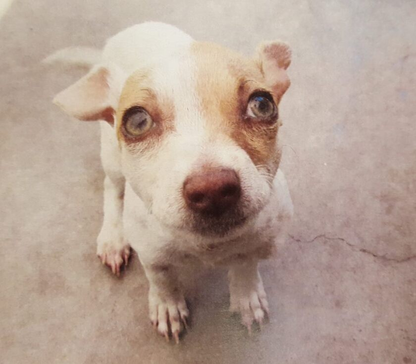 Bubba, a terrier mix puppy, was picked up during a drug arrest and tested positive for heroin, among other drugs.
