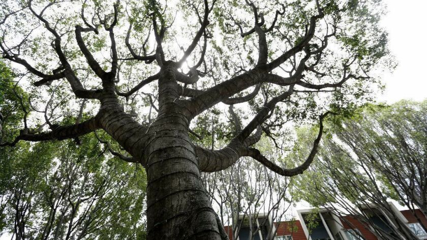 Ficus trees on Green Street in Pasadena.