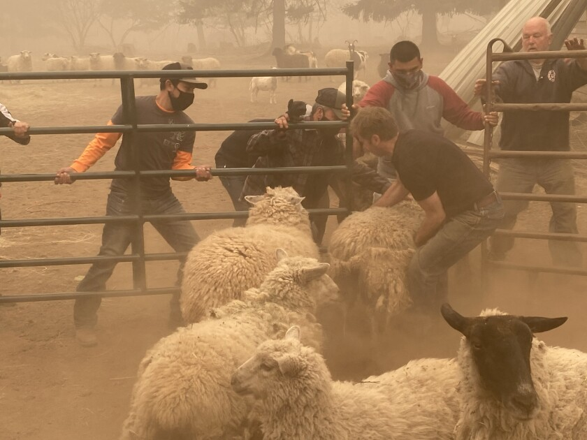 Volunteers struggle to gather sheep for rescue from a wildfire near Colton, Ore.