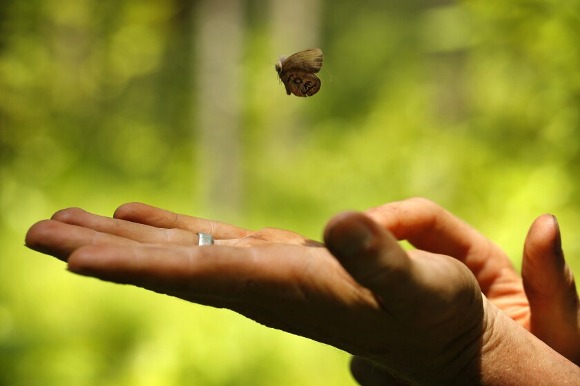 St. Francis' satyr butterfly