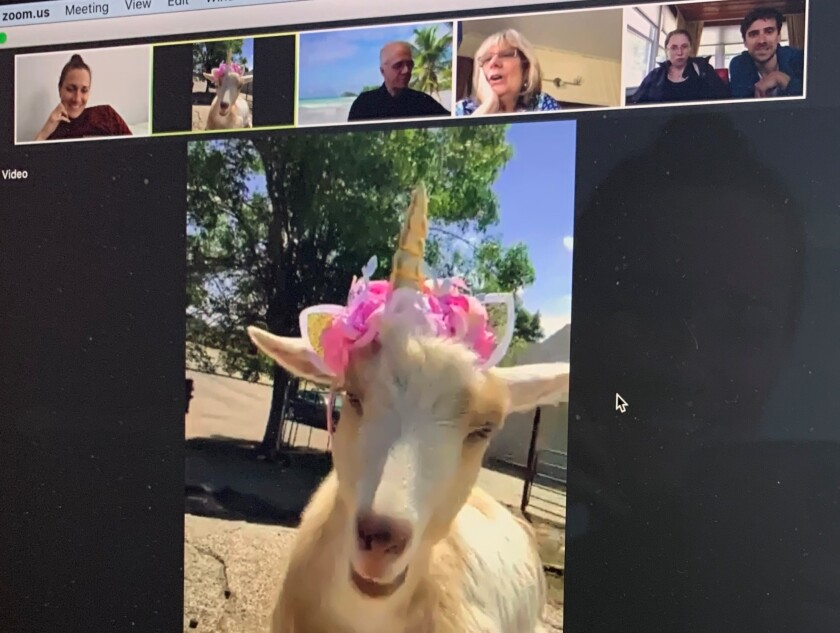 Penny the goat join a Zoom meeting at the King Wolf Animal Sanctuary