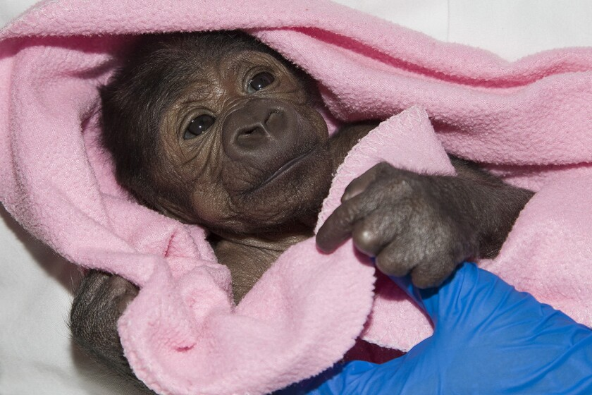The baby gorilla born by C-section at the San Diego Zoo Safari Park underwent an emergency operation Friday. Veterinarians are cautiously optimistic.