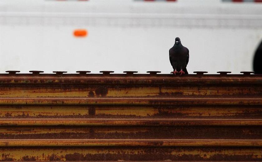 Vista de una paloma, durante una manifestación de ciudadanos mexicanos, junto a la frontera que delimita a México con territorio norteamericano. EFE/Archivo
