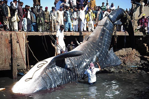 Pakistani fishermen use cranes to pull the carcass of a whale shark from the waters at a fish harbor in Karachi. The 40-foot fish, weighing 6 to 7 tons, was reportedly found dead in shallow water in the Arabian Sea.