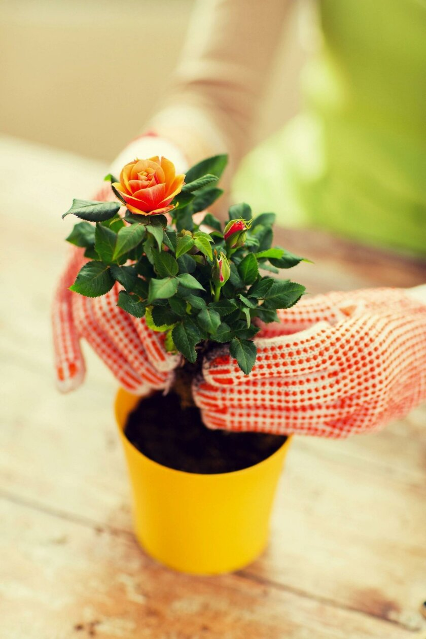 When potting miniature roses, choose 1-to-2-gallon containers to start with.