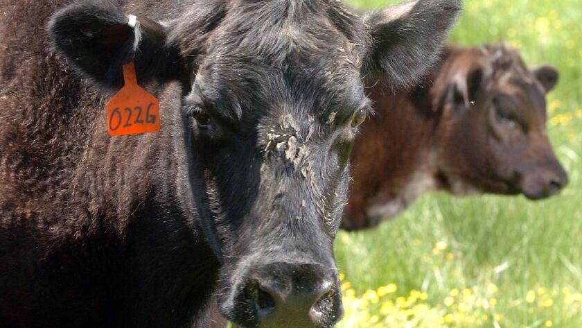 Black Angus cattle graze on a farm