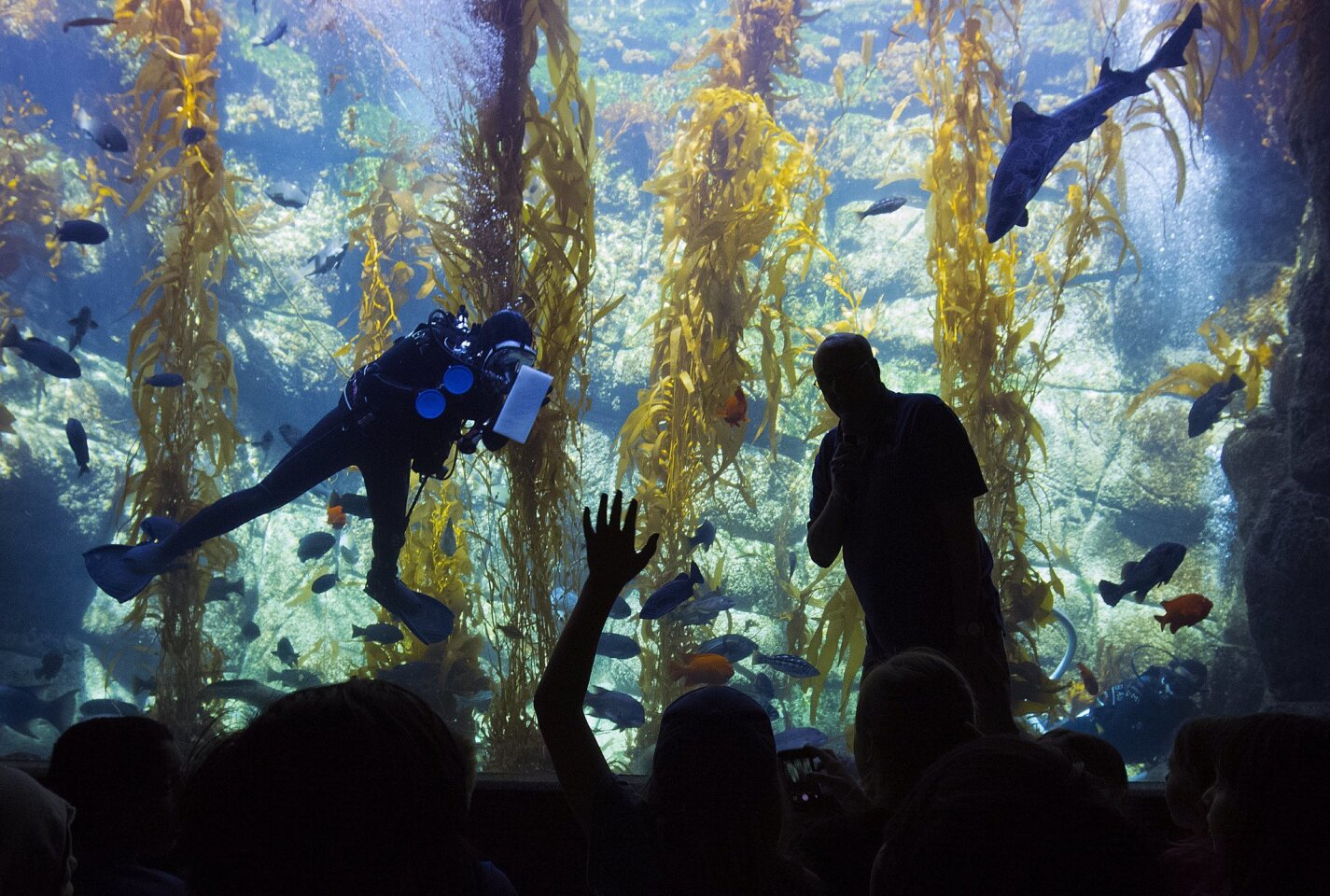 Volunteer docent Jim Clevengera took questions from elementary school kids at the large kelp tank at Birch Aquarium at Scripps.