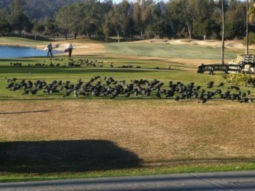 Coots on the Fairbanks Ranch Country Club grounds. Courtesy photo