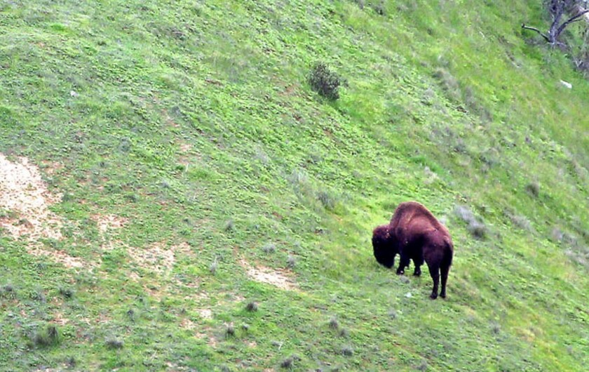Bison attack