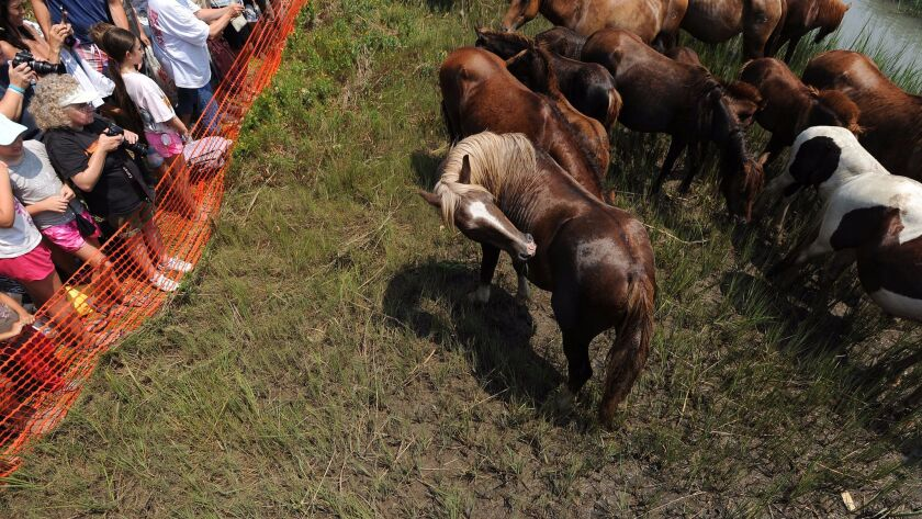 In this Wednesday, July 30, 2014 photo, spectators take photographs of Chincoteague ponies after the