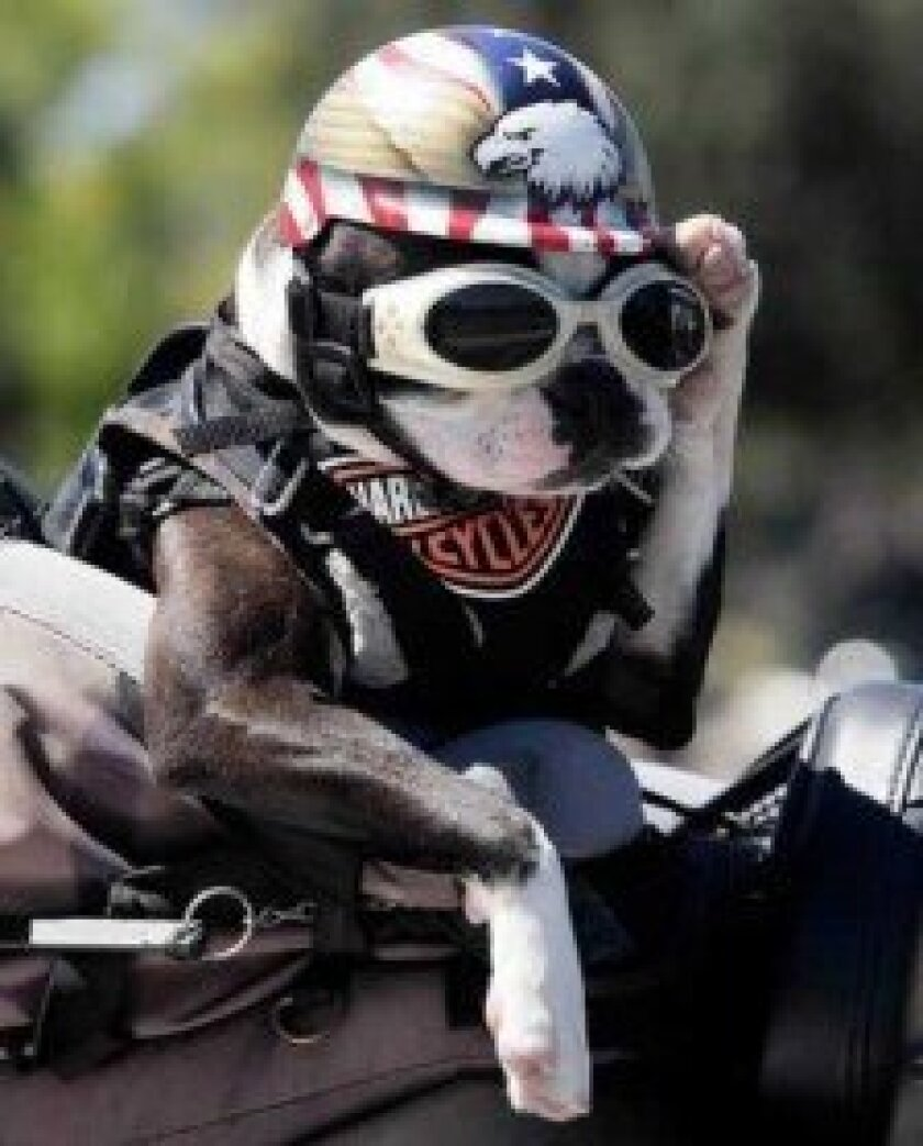 'Chopper the Biker Dog' will perform for guests and pose for photos in front of the expanded All About Animals shop at 5622 La Jolla Blvd. during this year's Birdstock event . Courtesy photo