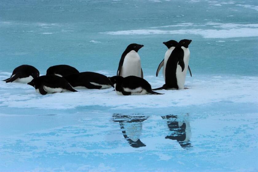 Vista de vario pingüinos Adelie. EFE/Archivo