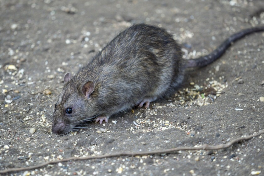 A common brown rat.