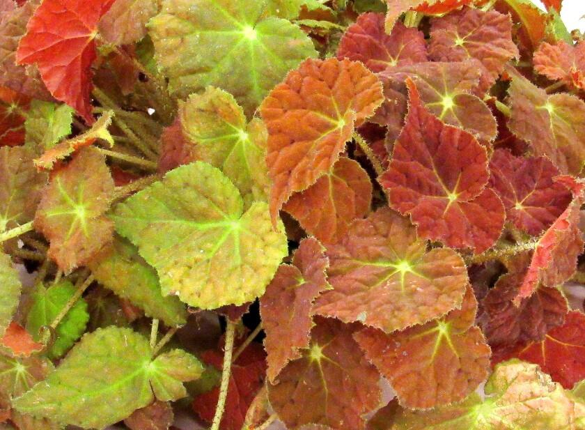 Autumn Embers begonia
