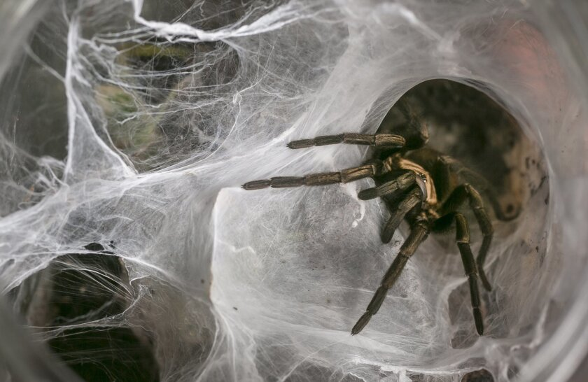 A tarantula nests in a web that fills its entire container. The spider is one of 50 tarantulas nurse Dee Reynolds cares for at her home.