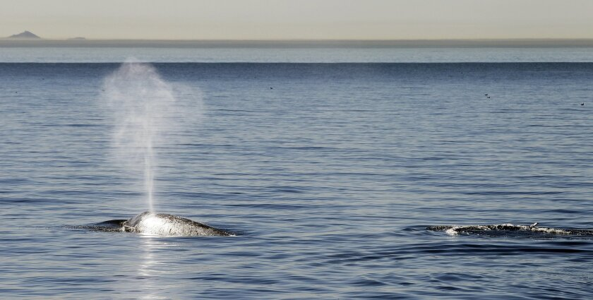 Seen from aboard the Birch Aquarium ship called the Marrietta gray whales surface near the Coronado Islands off the coast of San Diego, California.