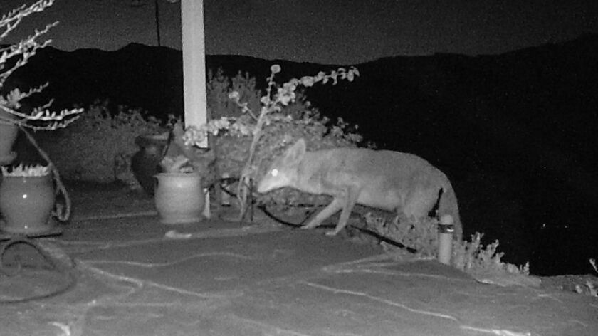 A camera catches a coyote walking on a home patio in San Diego County.