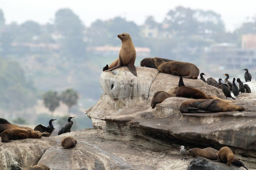 Sea lions and birds at La Jolla cove have cast a strong odor over the area for years.