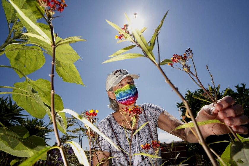 Terry Meaney shows her milkweed plants in her backyard garden on Mount Soledad in La Jolla on June 26.