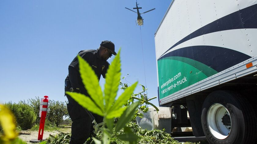 COSTA MESA, AUGUST 15, 2014 - Orange County Sheriff's Department personnel destroy marijuana plants