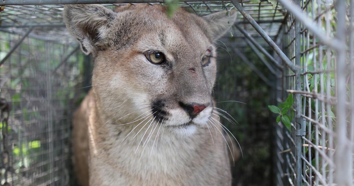 後迷惑山ライオンが殺され、L.A.都市のリーダーのための実践