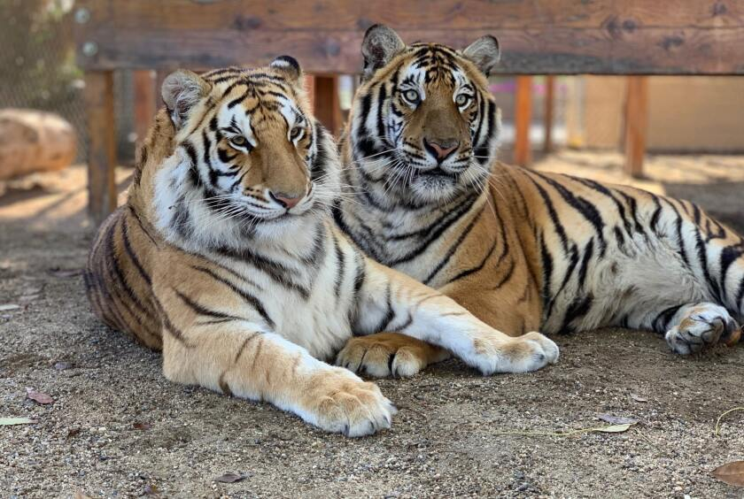 Bengal tigers Neil (left) and Karma at America's Teaching Zoo at Moorpark College.