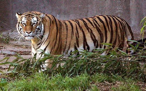 """Tatiana, Siberian tiger pictured in 2006, killed a 17-year-old boy and injured two brothers on Christmas Day 2007 at the San Francisco Zoo. A new accreditation report says zoo workers made some missteps in handling the attack but said their overall response was """"impressive."""""""