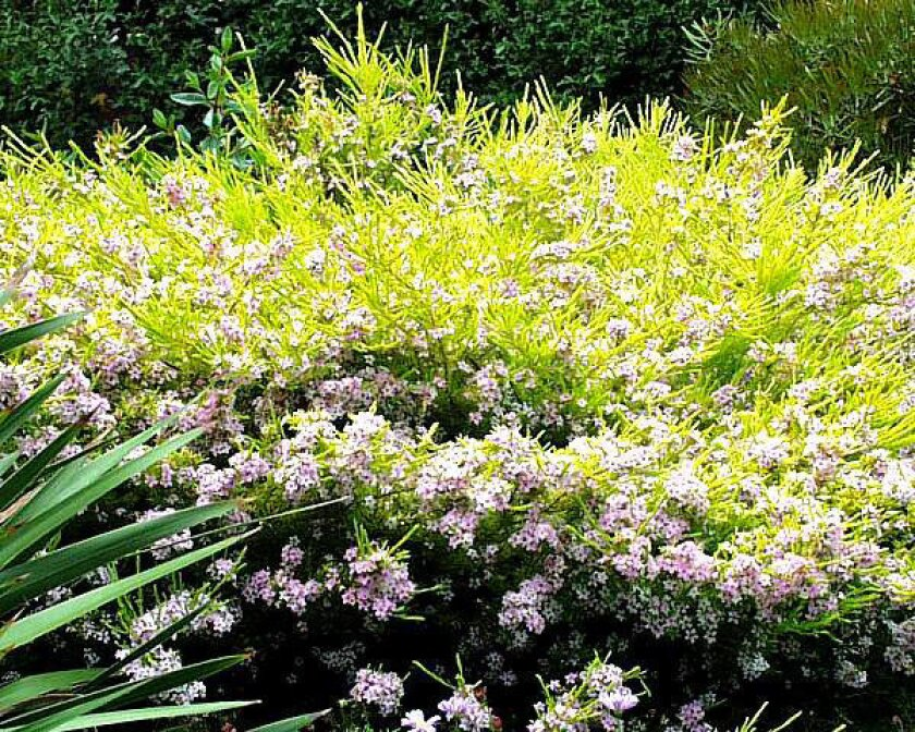 Breath of heaven is one name for the Sunset Gold cultivar of Coleonema pulchellum.