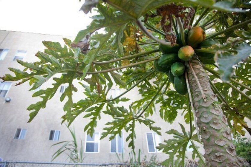 Papaya is relatively easy to grow from seed. A few tricks will help your chances for an abundant harvest of ripe fruit.