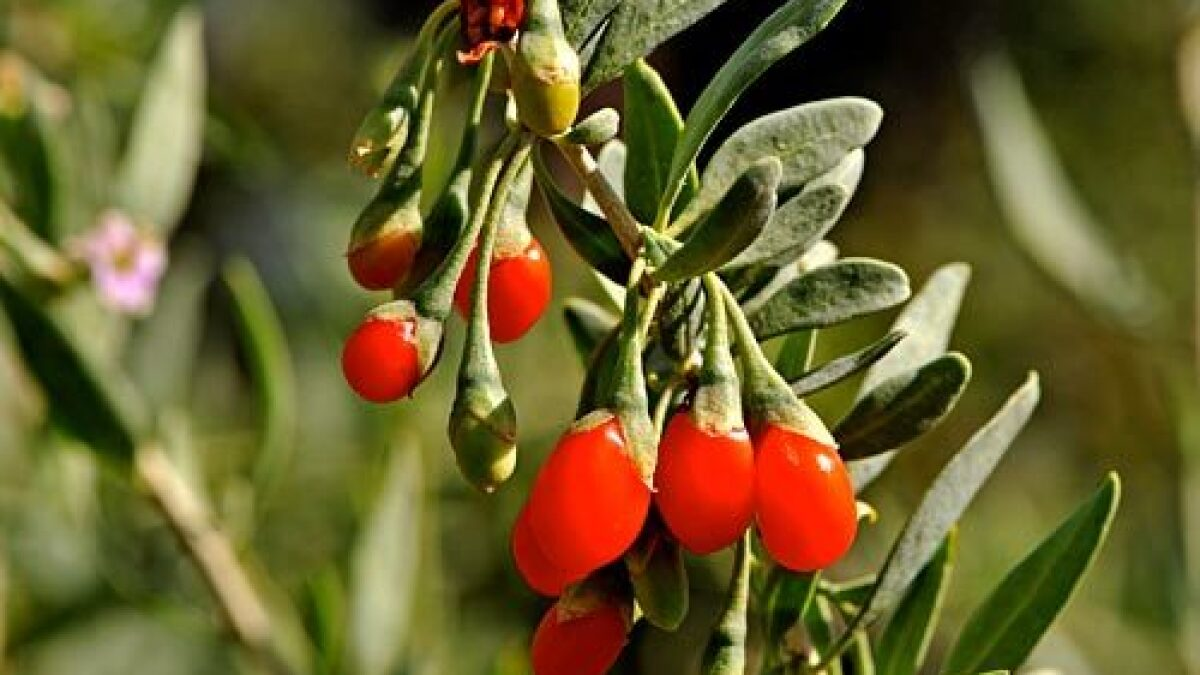 Goji Taunts North American Farmers Los Angeles Times