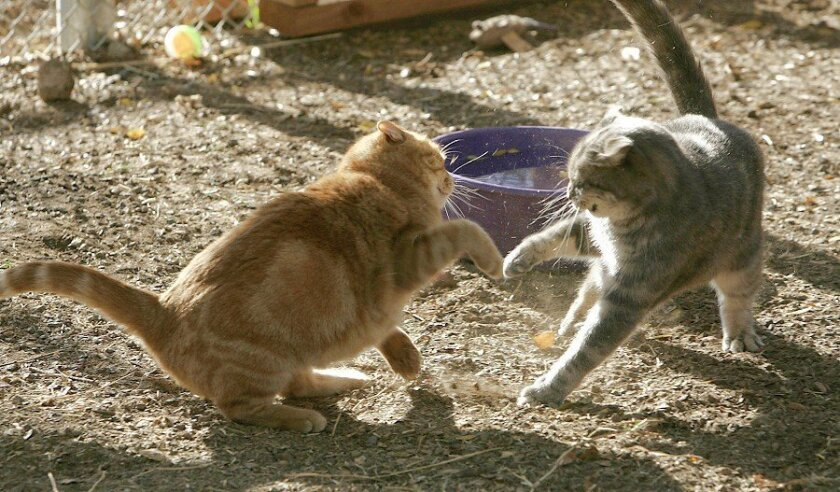 Almost 60 feral cats airlifted from San Nicolas Island are settling into their new home in Ramona at the Fund for Animals Wildlife Rehabilitation Center. Delilah and Sybil recently got into a tussle.