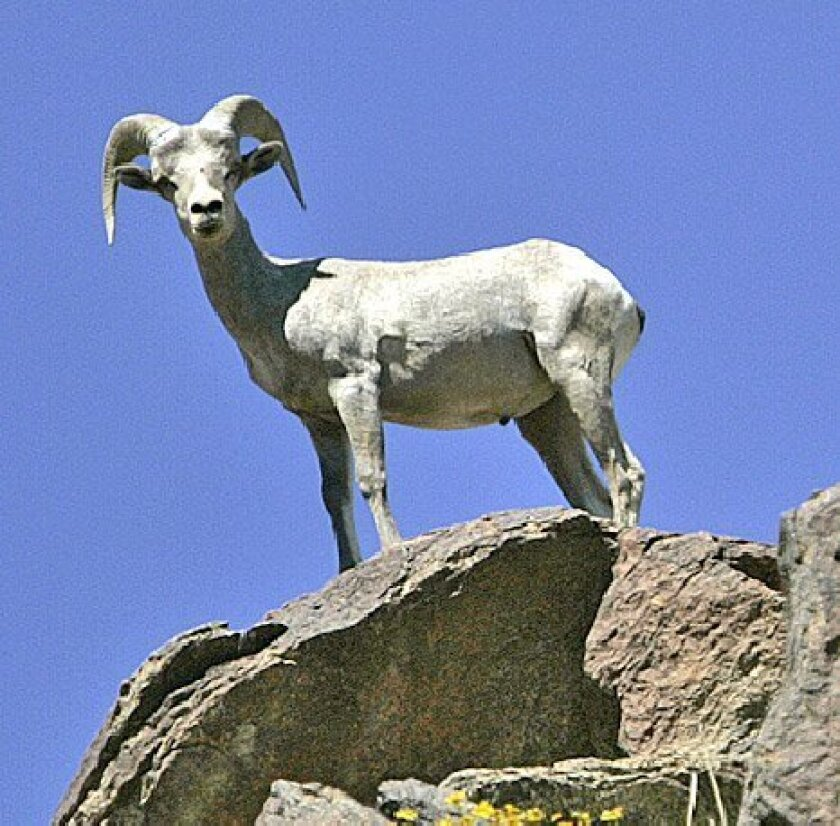 Environmentalists plan to challenge a  federal decision to downsize the habitat  of the bighorn sheep. (U-T Archives)