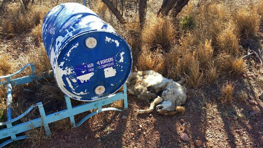 In this Tuesday, Feb. 9, 2016 photo provided by Humane Borders, the carcass of a coyote is shown next to a 55-gallon water container left in the southern Arizona desert near the town of Arivaca. Humane Borders says somebody shot at the container and left the dead coyote next to it. The organization