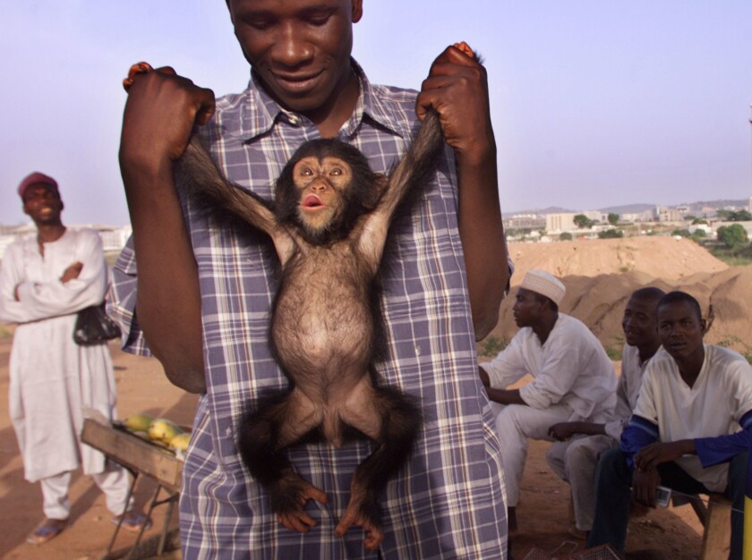In this file photo, a baby chimpanzee is displayed for sale by a roadside animal trader in Abuja, Nigeria. The West African nation is often used as the transit point for the illegal trade of great apes, according to wildlife officials.