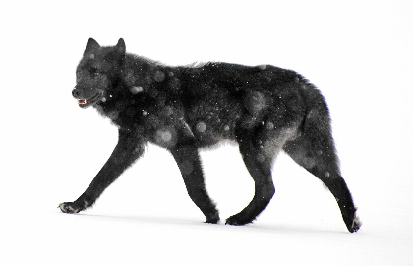 An Alexander Archipelago wolf roams in Juneau, Alaska, in 2008. The federal government reiterated its opposition to listing the wolf as endangered or threatened.