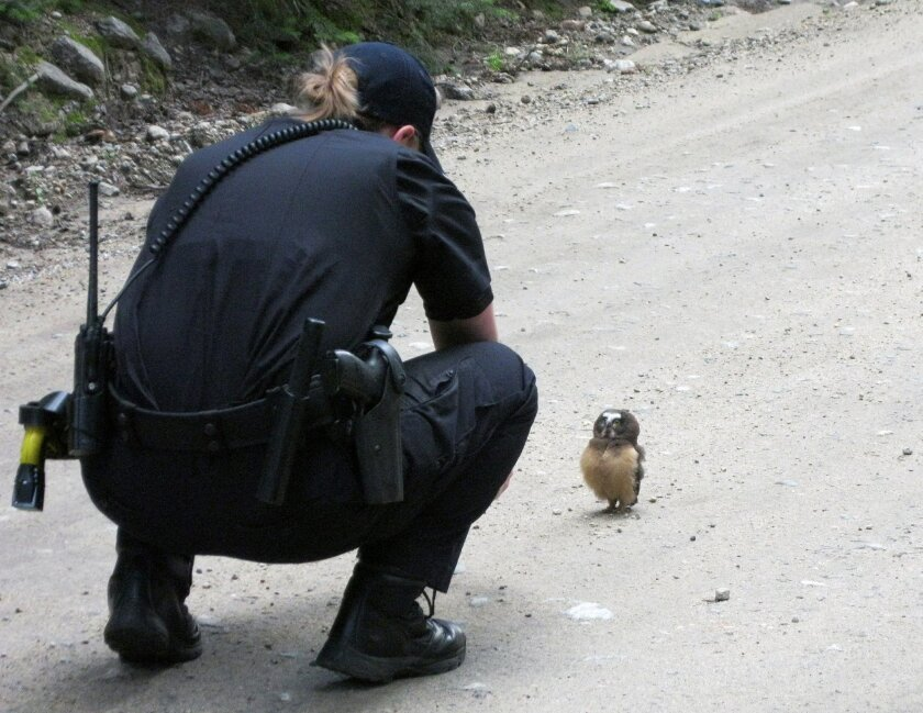 In this July 21, 2015 photo, provided by Boulder County Sheriff's Deputy, Deputy Sophie Berman crouches over a small owl, making a brief video before the bird flew away, near Rainbow Lakes, outside Nederland, Colo. Berman came across the raptor on a dirt road as Berman patrolled the area. (Dan Walter/Boulder County Sheriff's Office via AP)