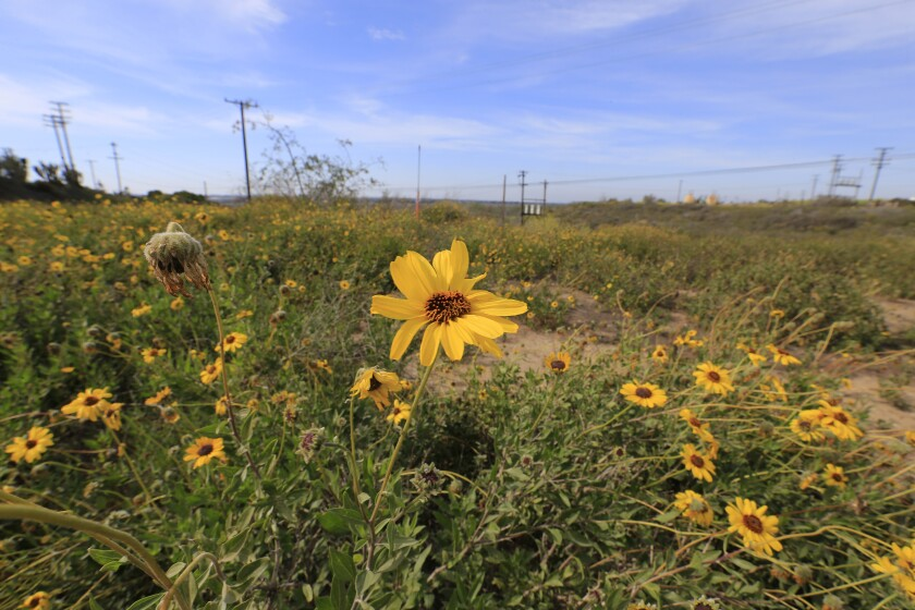Encelia, a native shrub and part of the coastal sage scrub plant community, blooms in the Banning Ranch oilfield.