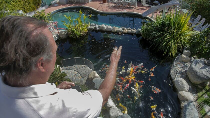 James Van Jen feeds koi fish from a balcony at KoiLand in Vista Wednesday. photo by Bill Wechter