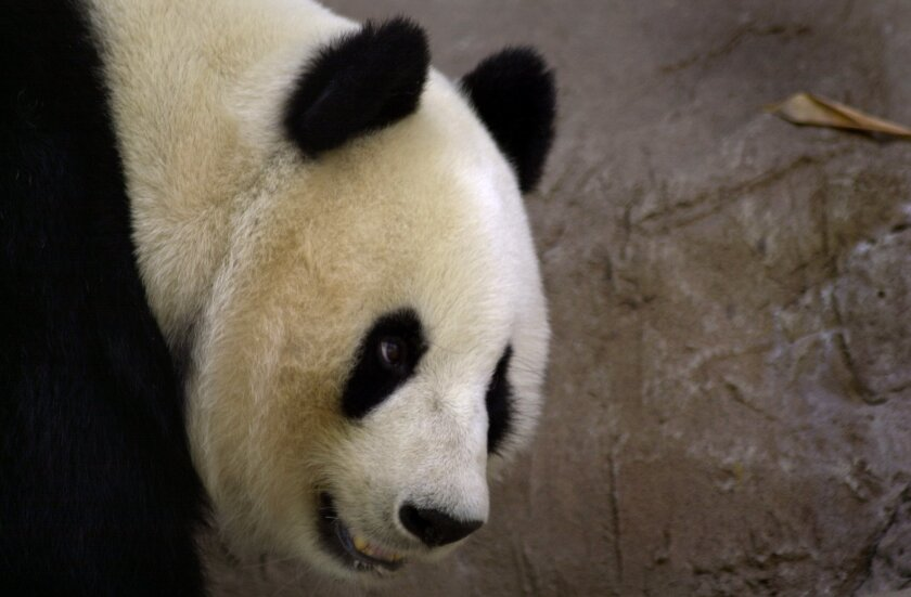 Bai Yun bit a keeper, the first such incident involving pandas at the San Diego Zoo.