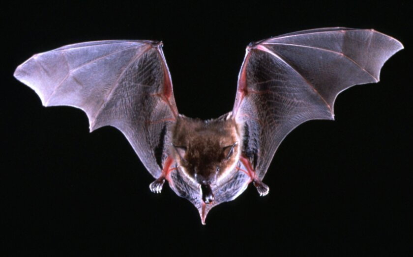A brown bat flies with a beetle in its mouth in this undated file photo.