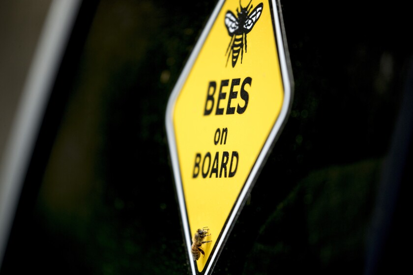 "A bee rests on a yellow sign that reads ""Bees on Board"" on beekeeper Sean Kennedy's truck as he helps capture a swarm of honey bees and relocate them to a bee hive, Friday, May 1, 2020, in Washington. The District of Columbia has declared beekeepers as essential workers during the coronavirus outbreak. If the swarm isn't collected by a beekeeper, the new hive can come to settle in residential backyards, attics, crawlspaces, or other potentially ruinous areas, creating a stinging, scary nuisance. (AP Photo/Andrew Harnik)"