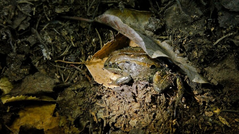 The wood frog of Alaska spends nearly seven months a year in a frozen state, according to a new study.