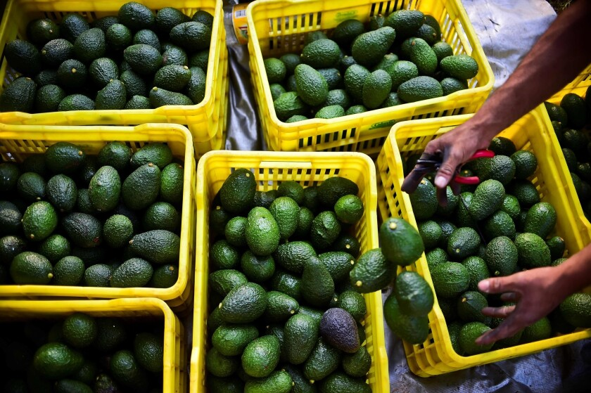 A farmer harvests avocados at an orchard in Mexico.
