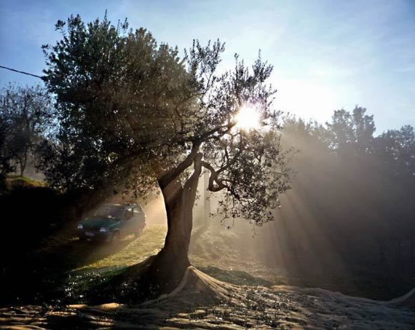 Umbria, Italy: Olive harvesting in country's 'green heart