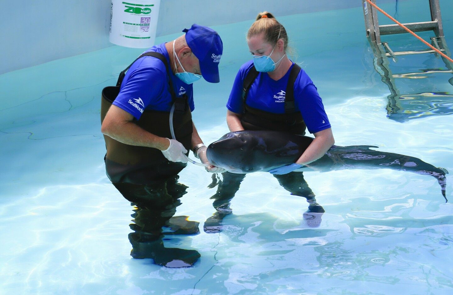 SeaWorld Rescue of a young Pygmy Sperm Whale