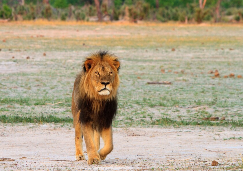 Cecil the lion roams on the plains in Hwange National Park on Nov. 18, 2012, in Zimbabwe. In July 2015, an American dentist named Walter Palmer killed Cecil during a trophy-hunting trip.