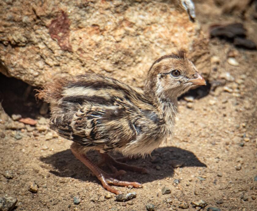 A quail chick visits the yard.